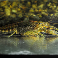 Mramorni rak (Procambarus fallax f. virginalis). Foto: Miroslav Samardžić