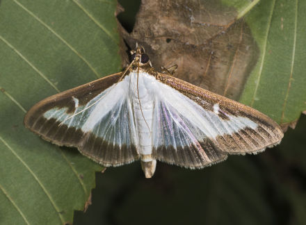 The adult moth of Cydalima perspectalis. Source: Wikipedia