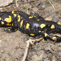 Pjegavi daždevnjak (Salamandra salamandra). Foto: Arhiva DZZP-a