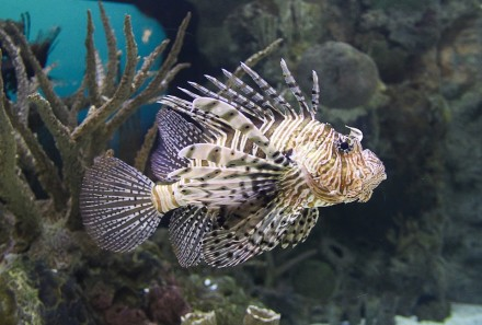 Riba lav (Pterois sp.)